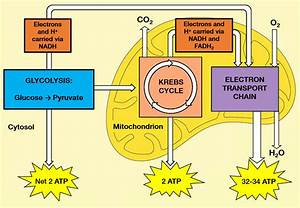 Decipher The Ins And Outs Of Cellular Respiration