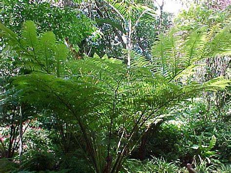 australian tree fern australian tree fern