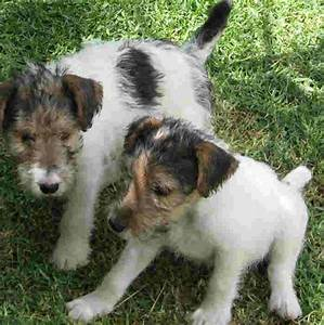 Fox Terrier,Wire puppies photo and wallpaper. Beautiful ...