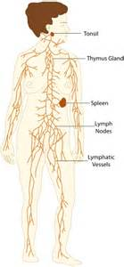 Lymphatic system  Immune System Lymph Nodes