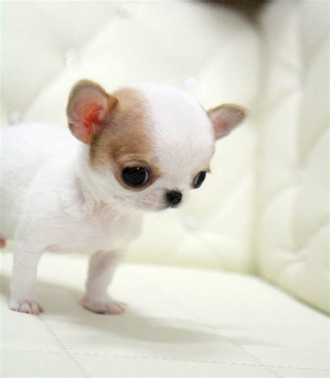 teacup chihuahuas health issues care information facts