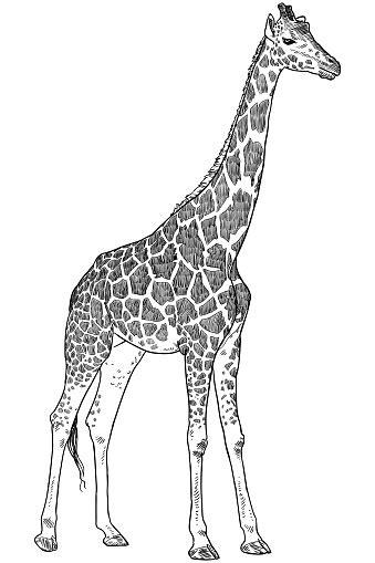 giraffe drawing stock illustration  image