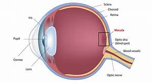 What Is The Macula