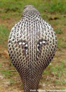 Spectacled Cobra | Indiansnakes.org
