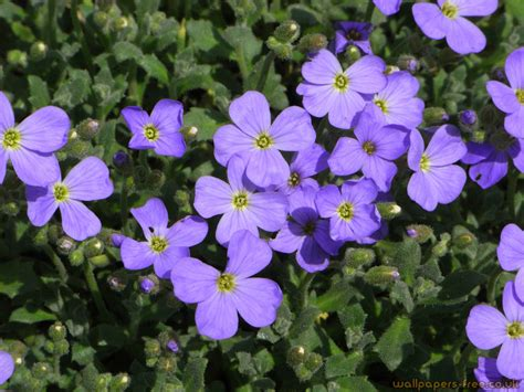 flower and plants purple flowers flowers and plants wallpaper