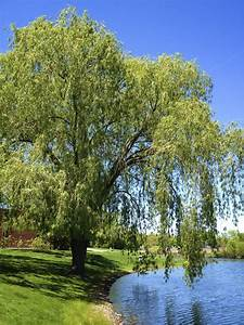 Weeping Willow Tree  Things To Consider In Planting A
