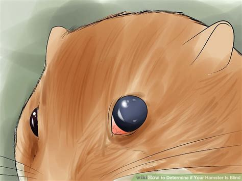 how to tell if your is blind how to determine if your hamster is blind 10 steps