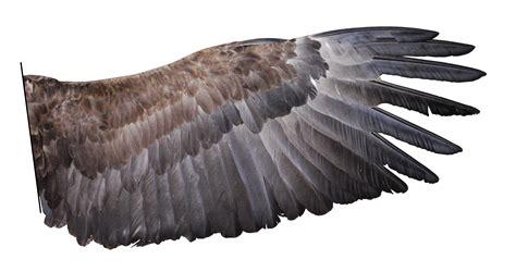 wings on pinterest bird wings wings and eadweard muybridge