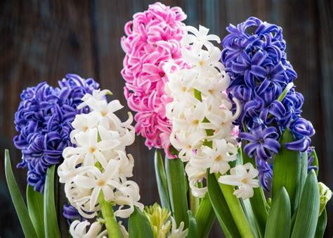 Hyacinth and Muscari: Planting and Caring for Hyacinth