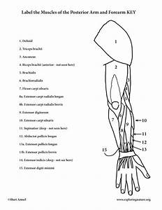 Muscles Of The Arm And Forearm  Posterior