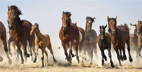 horse flach tim equus beauty herd horses wild galloping running mustang animals mustangs animal west american equine run
