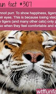 How tigers show happiness - WTF fun facts | WTF FACTS ...