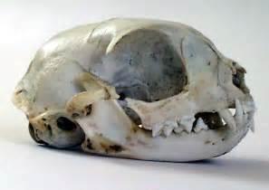 cat skull description cat skull jpg