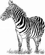 Zebra Coloring Pages Printable Stamps Stamp Deep sketch template