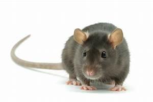 Ratte Im Haus : rattenbek mpfung ratten bek mpfen durch kammerj ger ~ Buech-reservation.com Haus und Dekorationen
