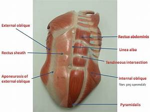 Lower Abdominal Muscle