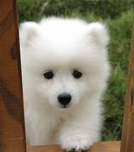 Samoyed American Eskimo Puppies
