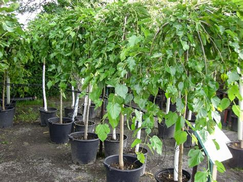 mulberry tree planting best 25 mulberry tree ideas on pinterest mulberry