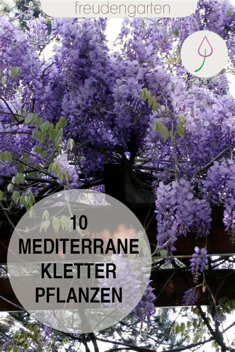 mediterrane pflanzen für den garten mediterrane kletterpflanzen b 196 ume und str 196 ucher f 220 r den