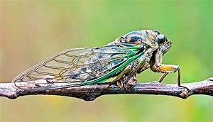 7 facts about cicadas, which are 'tiny violins' - Futurity
