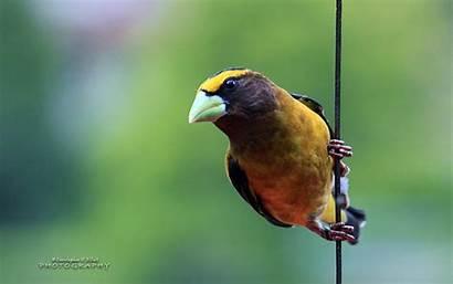 Evening Grosbeak Bird Birds Wallpapers Fhd Animals