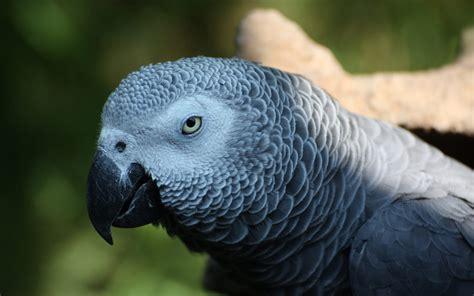 african grey parrot wallpaper  background hd wallpaper