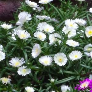 Blumen Winterhart Mehrjährig : winterharte mittagsblumen white pearl von garten schl ter auf kaufen ~ Whattoseeinmadrid.com Haus und Dekorationen