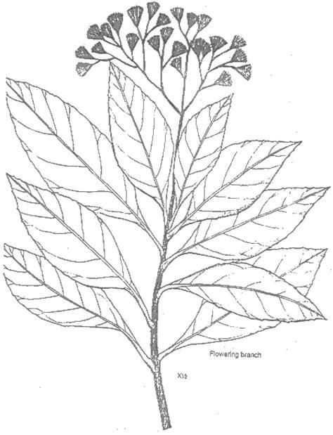 scientific  vernonia amygdalina
