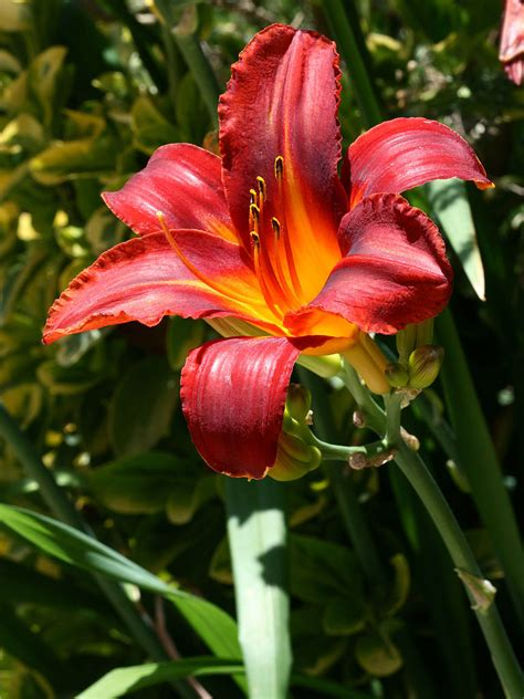 daylily colors daylilies auntie dogma s garden spot