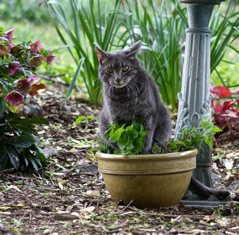 cats catnip cat attract garden does plants edible protecting know pot gardeningknowhow
