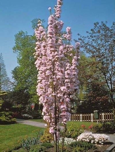 prunus trees for small gardens prunus amanogawa the garden of eaden