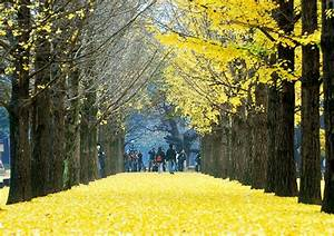 Beautiful Scenery at Nami Island, South Korea