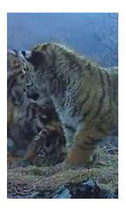 Hidden Camera Captures Rare Footage of Siberian Tiger Cubs ...