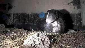 Peek Inside A Skunk Den Site