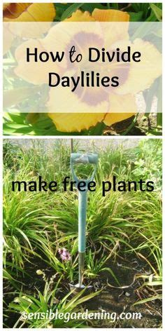 how to divide daylilies pruning roses the tree center roses pinterest spring 42 quot and home