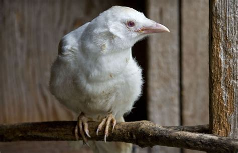 An Albino Crow Chick Sit On A Perch