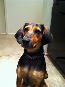 love my coonhound/ beagle mix! | Barley | Pinterest