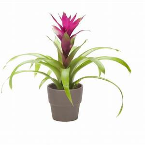 Shop 1 25-Quart Bromeliad at Lowes com