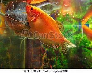 Fische Aquarium Hamburg : bilder von fische aquarium gurami gurami aquarium ~ Lizthompson.info Haus und Dekorationen