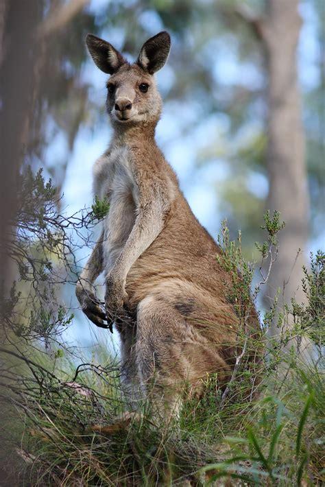 Eastern Grey Kangaroo The Parody Wiki FANDOM powered