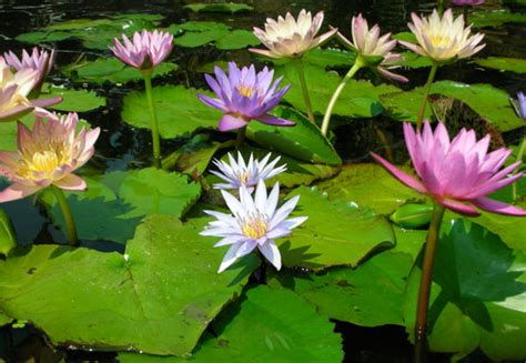 What Is The Difference Between A Tropical Water Lily And A