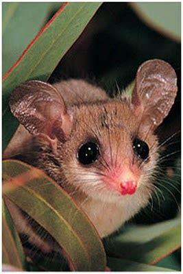 give  honey possum  nectar featured creature