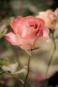Pin by Sylvia Castillo on Roses | Pinterest