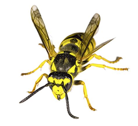 wasp nest removal toronto wasp control exterminator