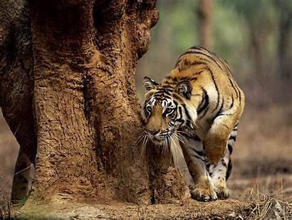 Tiger Tigers India Hunting Eating Indian Places