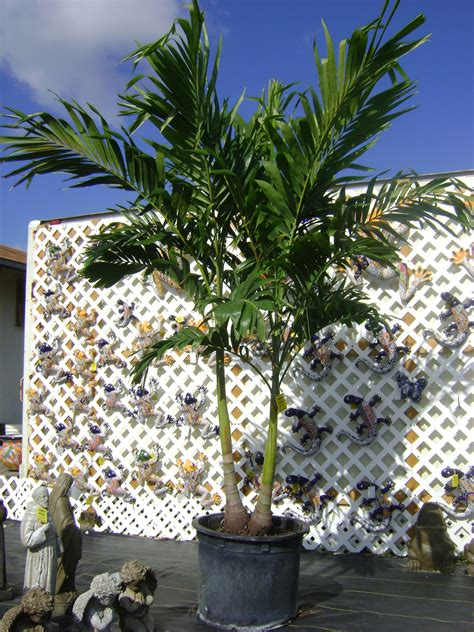 buy christmas palm trees in miami ft lauderdale kendall