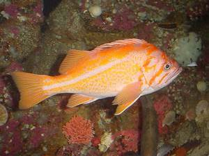 The Online Zoo - Canary Rockfish
