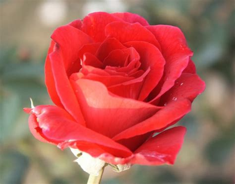 mister lincoln rose hybrid tea rose red rose palatine