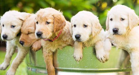 golden retriever puppies  sale