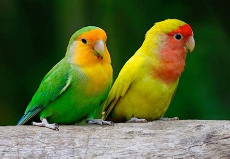 lovebirds pets n more